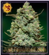 Buy Barneys Cookies Kush Feminized Seeds Special Offers